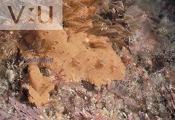Compound Tunicates or Sea Squirts (Botrylloides).