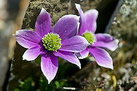 Purple anemone, Brooks range mountains, Arctic National Wildlife Refuge, Alaska
