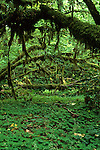 Tangle of vine maple, Hoh Rainforest, Olympic National Park, Washington