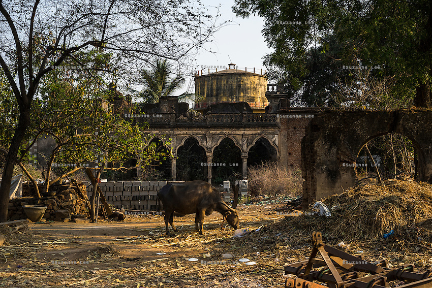 A water buffalo eats grass in the rubbled compound of an ancient palace next to the village water tank in Gorikathapalli, a remote village in Warangal, Telangana, India, on 22nd March 2015. Safe Water Network works with local communities that live beyond the water pipeline to establish sustainable and reliable water treatment stations within their villages to provide potable and safe water to the communities at a nominal cost. Photo by Suzanne Lee/Panos Pictures for Safe Water Network