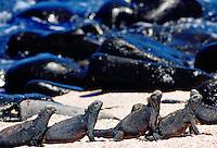 Marine iguanas on the beach, Galapagos Islands, Ecuador