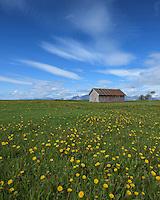 Old barn in field of flowers, Sanden, Austvågøy, Lofoten Islands, Norway