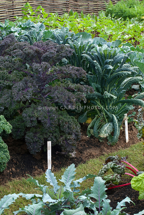 Kales 'Tuscany' and 'Redbor' growing in vegetable garden ground with plant label tags, with cabbage and chard