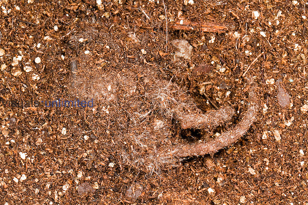 Mouse carcass after being consumed by Carrion Beetles (Nicrophorus carolinus), Texas, USA.