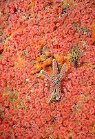 Ochre Sea Star - Carmel Pinnacles