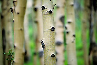 Aspen trees in an aspen grove near the Yampa Valley in the mountains of Colorado.