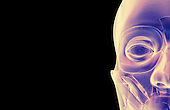 An anterior view of stylized muscles of the face. Royalty Free