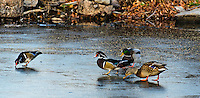Fine Art Print Photograph. Winter scene of ducks looking for food and water while walking on the ice of a creek that froze overnight.