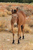 660720001 a domesticated mule stands in an open field of wild grasses on the eastern edge of the eastern sierras in central california