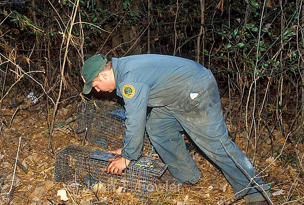 Government biologist sets live trap for  raccoon for rabies control