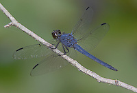 Slaty Skimmer (Libellula incesta) Dragonfly - Male, Cranberry Lake Preserve, Westchester County, New York