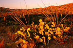 Prickly pear cacti, Saguaro National Monument, Arizona