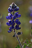 A single lupine catching the morning light in Asti in Sonoma County in Northern California