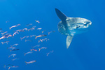 San Diego, California; a school of juvenile Yellowtail swimming behind an Ocean Sunfish, or Mola mola,  in the blue water of the Pacific Ocean
