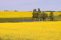 Rape Field, Viljandi County, Estonia, Europe