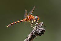 362750017 a wild male spot-winged meadowhawk sympetrum signiferum perches on a dead stick at empire creek las cienegas natural area cochise county arizona