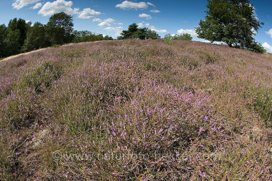Heidefläche, Heide, Heidegebiet mit Besenheide, Heidekraut, Calluna vulgaris, Ling, Scots Heather, Callune, Bruyère commune, heath, moorland, ling