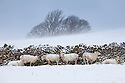 Sheep shelter from a blizzard behind a stone wall, Peak District National Park, Derbyshire, UK. March.