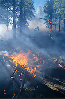 The &quot;Smith Fire,&quot; a low intesity fire in the ponderosa pine forest, Coconino National Forest, Arizona, AGPix_0216.