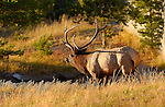 Bull Elk at Sunset, Norris Junction, Yellowstone National Park, Wyoming