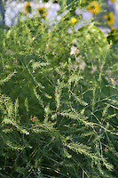 Mature asparagus plants in flower.