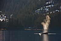 Humpback whales, Prince William Sound, southcentral, Alaska