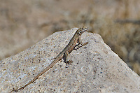 442000008 a wild nevada side-blotched lizard uta stansburiana nevadensis sits on a rock along fish slough road in mono county california