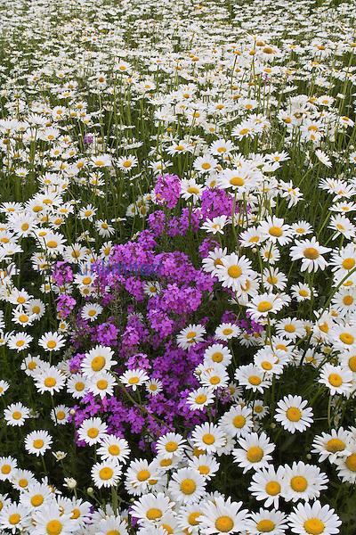Meadow of Oxeye Daisies ,Chrysanthemum leucanthemum, and Dameâ??s Rocket ,Hesperis matronalis, Eastern North America.