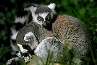 654003009 two captive zoo animal ringtailed lemurs lemur catta share an intimate moment in their enclosure - species is native to madagascar and is endangered