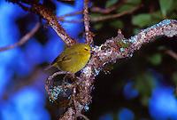 Maui creeper or alauahio, (paroreomyza montana). This bird is found on east Maui only.