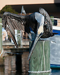 A pelican stretches atop a piling in a marina at Tarpon Springs, Florida, USA.