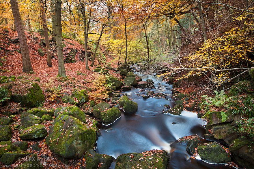 Beech woodland surrounding Burbage Brook. Padley Gorge, Peak District National Park, UK. Autumn, November.