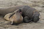 Northern elephant seals. Mating attempts. Flipper over back.