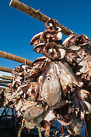 Cod Stockfish heads hang to dry in cold winter air, Lofoten islands, Norway