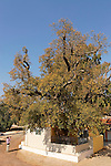 T-020 Mount Tabor Oak in Banias