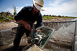 "California Trout's Jacob Katz catches juvenile salmon out of a ""live car"" used to catch and count fish in a rice field on Knaggs Ranch near Woodland, California, March 23, 2013. Research by UC Davis Center for Watershed Sciences, conservation science and advocacy organization California Trout, and the California Department of Water Resources shows that salmon raised in a floodplain have higher growth rates than those in a river or hatchery."