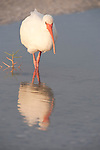 Sanibel Island, Florida; a White ibis (Eudocimus albus) bird stands in a shallow saltwater pool left on the beach after the tide receeded, foraging for food © Matthew Meier Photography, matthewmeierphoto.com All Rights Reserved