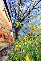 In a flowering prairie with a cherry orchard in bloom, the bees fly to a beekeeper's hive. A frame full of drones and a beekeeper's smoker.///Dans un verger de cerisiers en fleur avec une prairie fleurie, les abeilles volent vers la ruche d'un apiculteur. Un cadre de faux-bourdons et l'enfumoir d'un apiculteur/