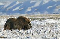 Bull Musk Oxen, coastal plains of Alaska's Arctic,