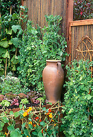 Sugar Pod Peas growing upright vertical gardening on wicker supports against woven fence in intensively planted backyard vegetable garden