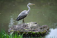 One of the many grey herons (Ardea cinerea) populating the garden of the Heian Shrine