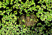 1R05-094z  Snapping Turtle - young swimming in pond, breathing at surface - Chelydra serpentina