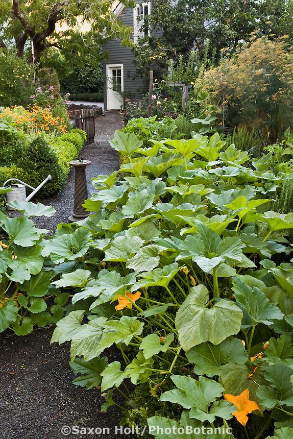 Pumpkin squash vines (Cucurbita pepo) overflowing beds in backyard organic kitchen garden with vegetables, herbs, and flowers
