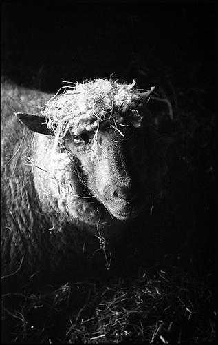 Ewe in barn, Suffolk 2013 by Paul Cooklin
