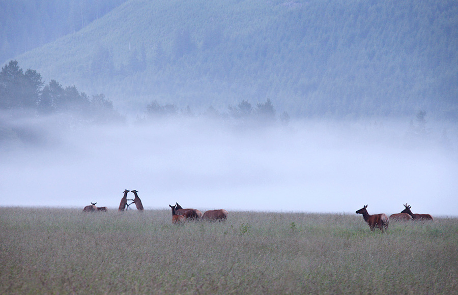 Elk practicing defensive skills at dawn near North Cascades National Park, Washington State, WA, USA