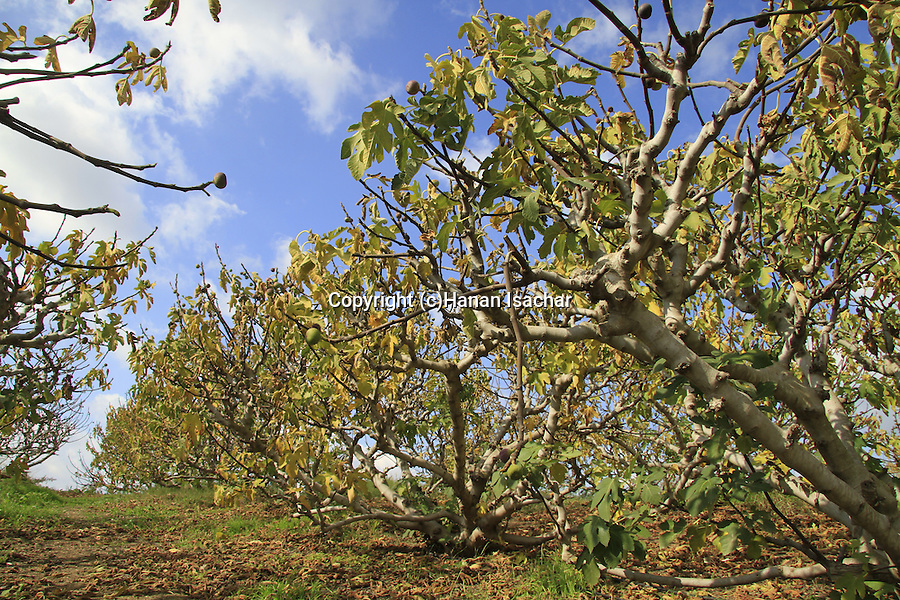 Israel, Shephelah, Fig grove near Haruvit forest