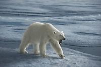 Polar Bear Yawning, Svalbard