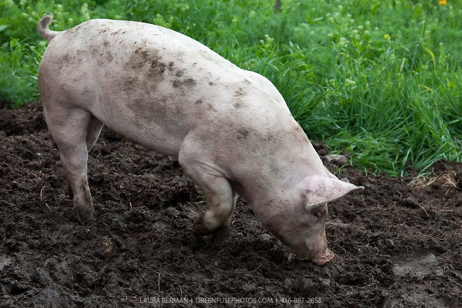 Pig From Animal Farm