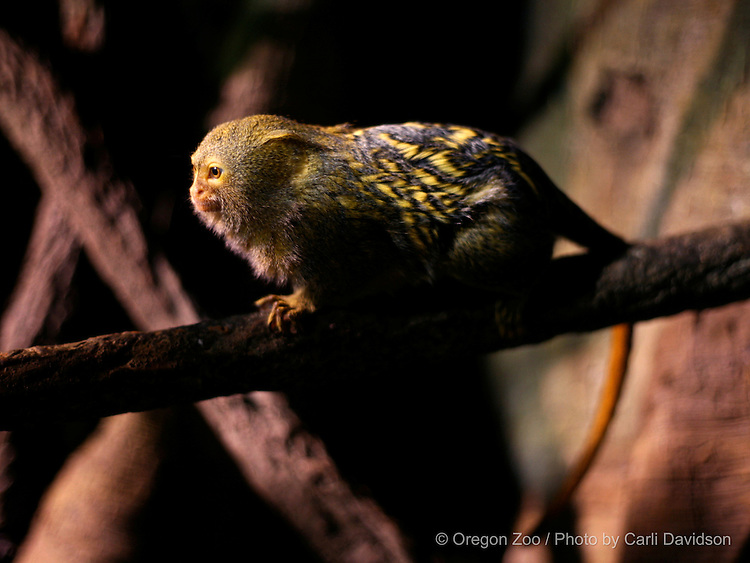 Pygmy Marmoset (Cebuella pygmaea) at the Oregon Zoo