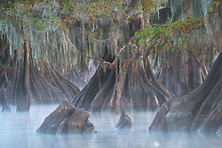 An intimate interplay in a grove of large bald cypress on a misty morning in southern Louisiana.